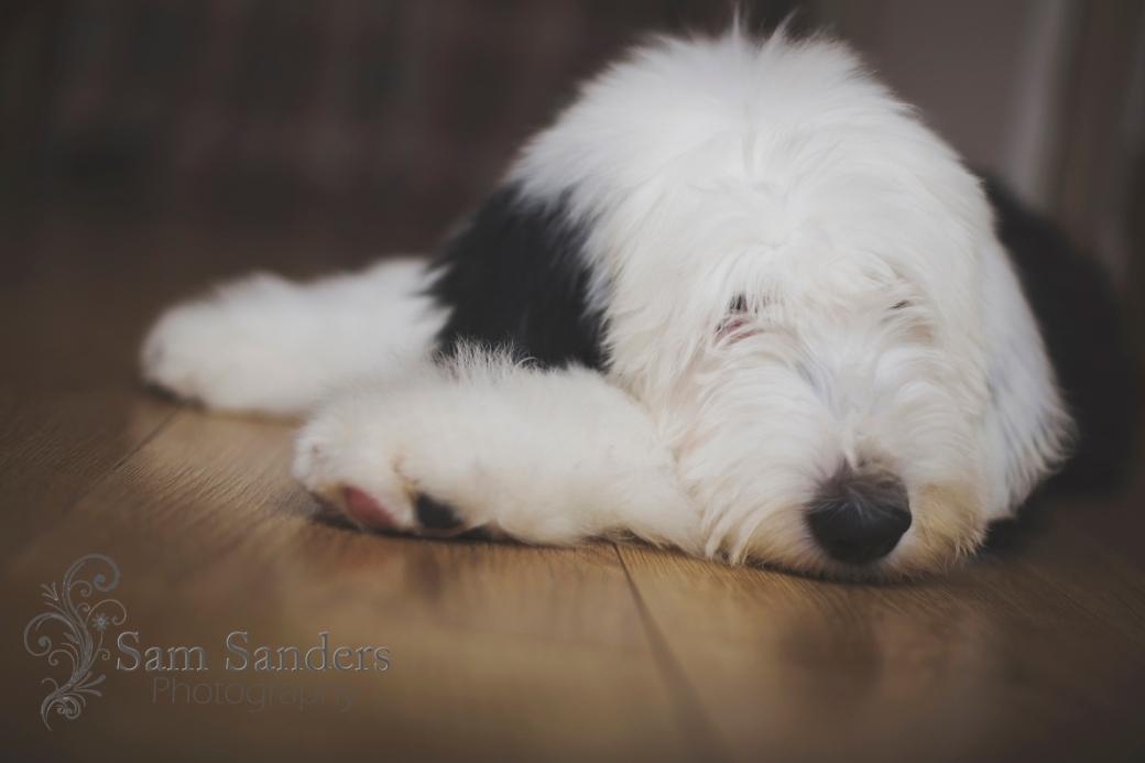 sam-sanders-photography-wigan-photographer-pet-portrait-dog-oldenglish-liverpool-jpg-web-017