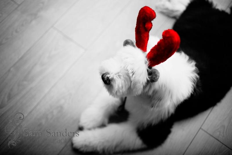 sam-sanders-photography-wigan-photographer-pet-portrait-dog-oldenglish-liverpool-jpg-web-021