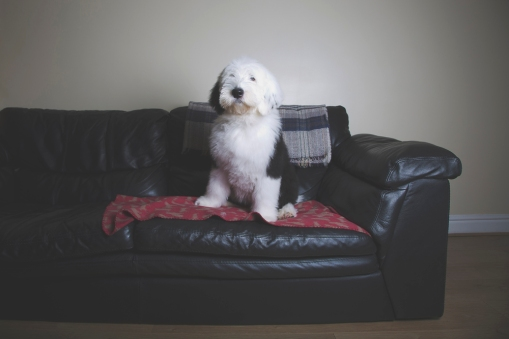 sam_sanders_photography_wigan_photographer_pet_dog_portrait_lifestyle_session_jpg_011